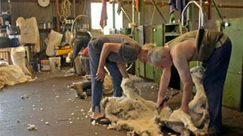 С чего начать открытие бизнеса на селе? С открытия овцеводческого хозяйства